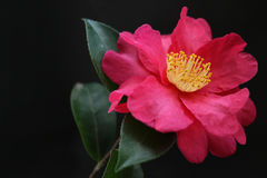Japanese camellia flower close up  2 Royalty Free Stock Photography