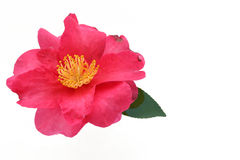 Japanese camellia flower on white water Stock Images