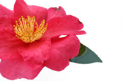 Japanese camellia flower on white water   Stock Image