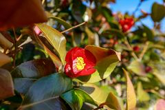 Japanese camellia in the garden stock image