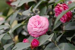 Japanese camellia pink flower on a bush closeup Stock Photo