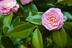 Japanese camellia Royalty Free Stock Photos
