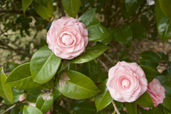 Japanese camellia Stock Photo