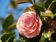 Japanese Camellia Flower stock images