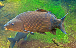Japanese carp. Close up of a japanese carp inside the aquarium Stock Photos