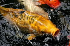 Japanese Carp Stock Photos