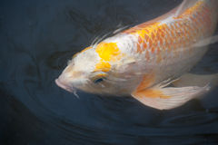 Japanese carp. A Japanese carp also known as nishikigoi Royalty Free Stock Photo