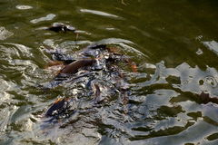 Japanese Carp being fed Royalty Free Stock Image