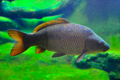 Japanese carp fish. Close up of a japanese carp inside the aquarium Stock Photo