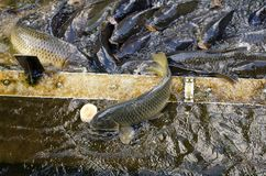 Japanese carp fish feeding. Japanese carp fish jumping out of water to reach some food stock images