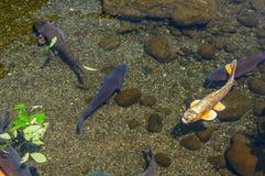 Japanese carp Stock Photo