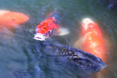 Japanese carp ( koi fish ) Stock Photos