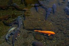 Japanese carp Royalty Free Stock Image