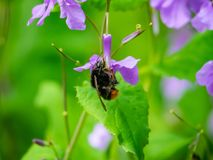 Japanese carpenter bee on annual honesty flowers 8 stock images