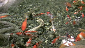 Japanese carps float in water stock video