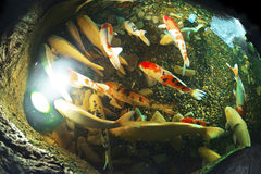 Coi fishes Royalty Free Stock Images
