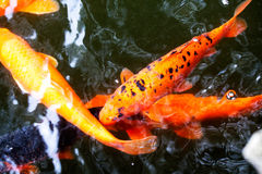 Japanese carps in the pond Royalty Free Stock Images