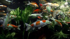Japanese carps swim around in transparent water among algaes, colorful fishes, underwater world, freshwater fishes of. Japanese carps swim around in transparent stock footage