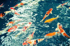 Japanese carps swimming in lake cross-processing Stock Photo