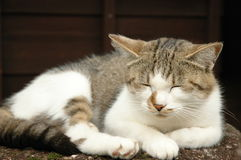 Japanese cat. A sleepy cat from Japan Royalty Free Stock Photography