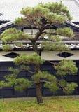 Japanese cedar Stock Image