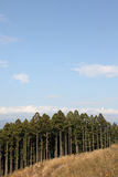 Japanese Cedar Royalty Free Stock Image