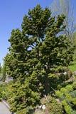 Japanese cedar. Cryptomeria japonica, Bandai Sugi on the flower Island Mainau in Lake Constance, Baden-Wurttemberg, Germany, Europe, 06. May 2008 Stock Photography
