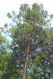Japanese cedar forest Stock Photography