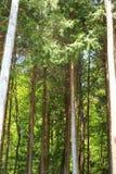 Japanese cedar forest. (Cryptomeria japonica) in Japan Stock Image