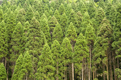 Japanese cedar forest Stock Photography