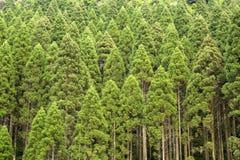 Japanese cedar forest. Straight growth Japanese cedar(Cryptomeria japonica) forest in Kirishima, Kagoshima Stock Photography