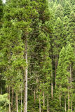 Japanese cedar forest. Straight growth Japanese cedar(Cryptomeria japonica) forest in vertical composition Stock Image