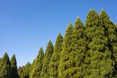Japanese cedar forest Royalty Free Stock Photos