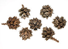 Japanese Cedar Tree Seed Pods. Japanese Cedar tree cones isolated on white. Lit from behind so cones are without shadows even in RAW Royalty Free Stock Photos