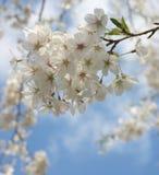 Japanese Cherries. Against blue sky (hi-key royalty free stock photography