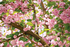 Japanese cherry Stock Photography