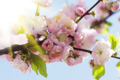 Japanese Cherry Royalty Free Stock Photography
