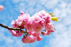 Japanese cherry Royalty Free Stock Photo