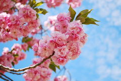 Japanese cherry Royalty Free Stock Image