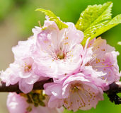 Japanese Cherry Stock Photo