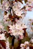Japanese cherry. In blossom in spring garden Stock Image