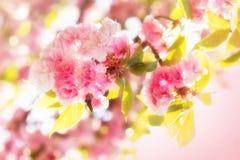 Japanese cherry blooming - flowering Royalty Free Stock Photos