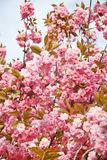 Japanese cherry with blossom Stock Images