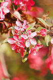 Japanese cherry with blossom Royalty Free Stock Image