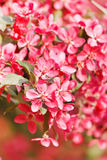 Japanese cherry with blossom Royalty Free Stock Images