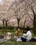 Japanese cherry blossom Royalty Free Stock Photography