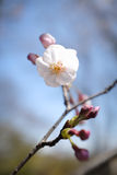 Japanese Cherry Blossom Stock Images