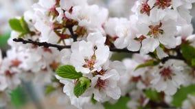 Japanese cherry blossom stock video