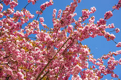 Japanese cherry blossom Royalty Free Stock Image