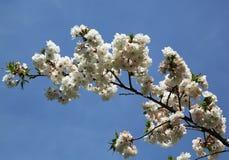 Japanese cherry blossom Stock Image